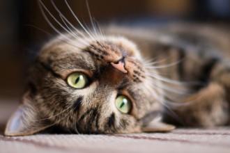 Tout savoir sur la leucose féline (FeLV)