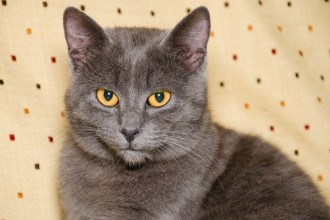 Top 5 grey cat breeds