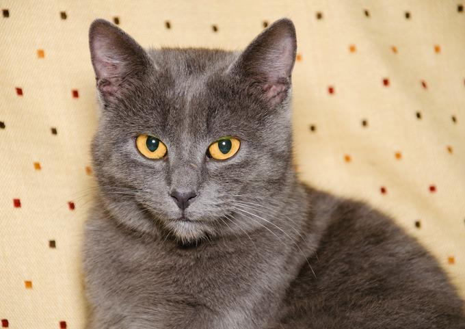 Dans le monde du chat, la couleur bleue se réfère à un chat gris dont la  robe se décline sous plusieurs nuances. Ces chats ont une allure  particulièrement