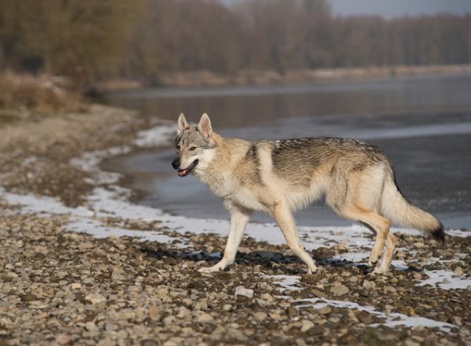 chien loup saarloos