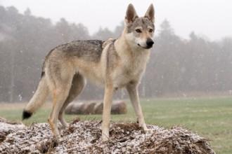 Zoom sur deux races de chien loup