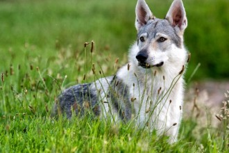 Wolf dog breeds: advantages and disadvantages