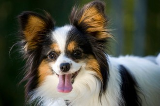 Everything you need to know about the Papillon