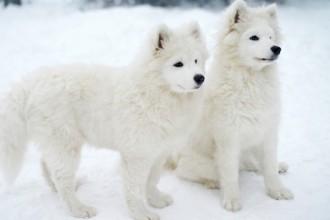 TOP 10 des races de chien blanc