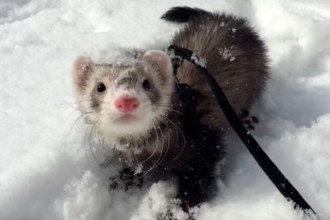 A ferret discovers snow for the first time