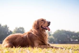 3 Tips for pet parents of Golden Retrievers