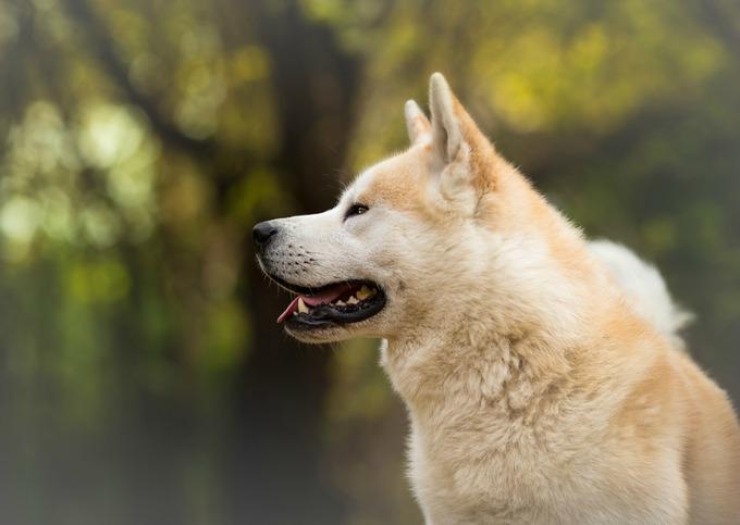 Race chien japonais Akita Inu