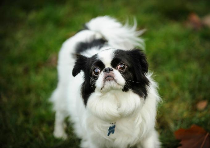 race chien japonais - Epagneul japonais