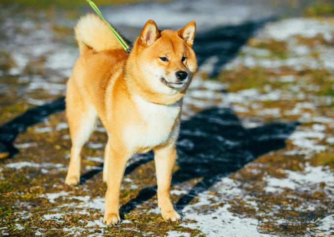 Race chien japonais - Shiba Inu