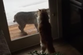 What happens when this cat meets a lynx...