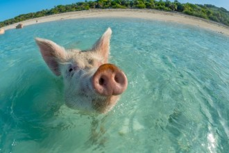 Swimming pigs of Bahamas found dead