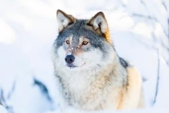 Races de chien loup : avantages et inconvénients