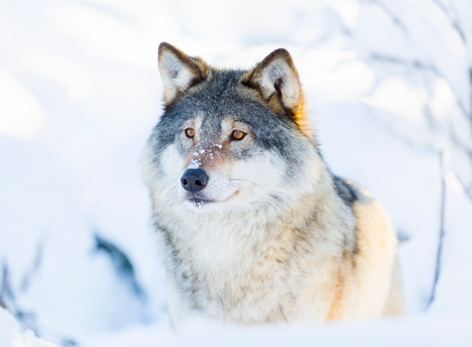 Races de chien loup : avantages et inconvénients - Yummypets