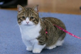 Know your breeds: The Munchkin cat