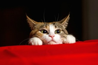 Why are some people allergic to cats?
