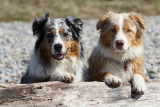 10 Things you didn't know about the Australian Shepherd