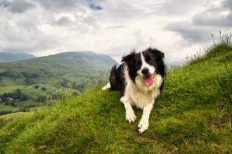 3 Reasons you should adopt a Border Collie