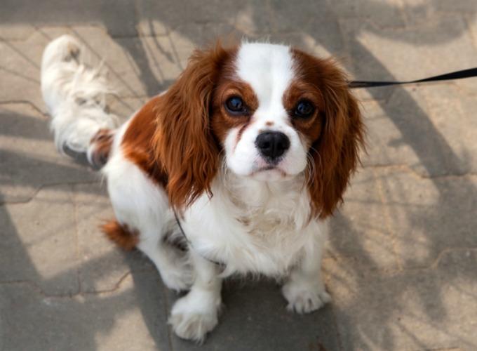 Favori Top 15 des races de chien de petite taille - Yummypets MS33