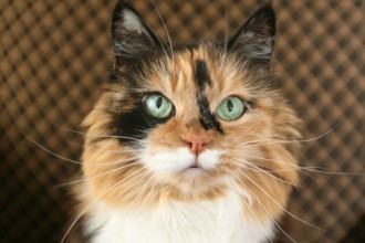 What is a calico cat?