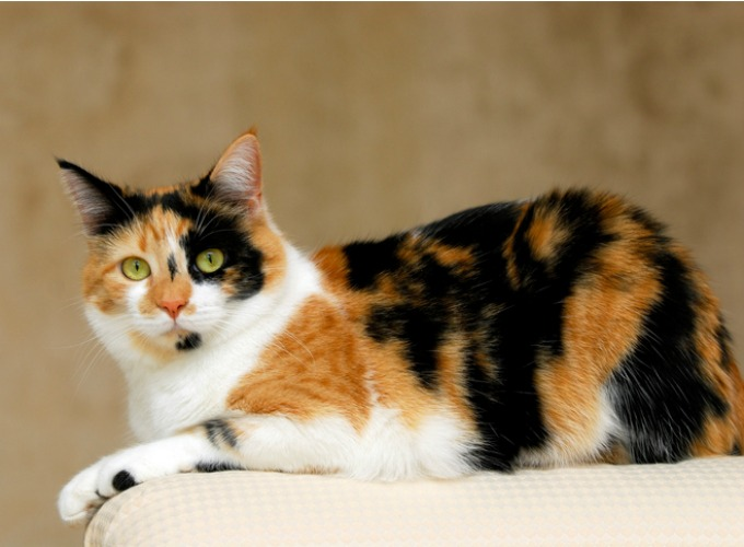 chat calico