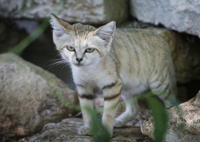 Connaissez vous le chat des sables yummypets - Chat des sables a vendre ...