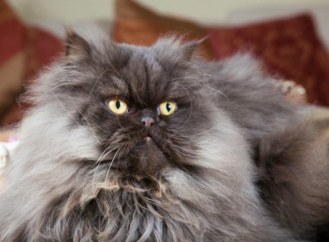 10 choses que vous ne saviez pas sur le chat persan yummypets. Black Bedroom Furniture Sets. Home Design Ideas