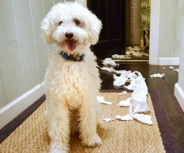 Pourquoi mon chien fouille-t-il dans la poubelle ?