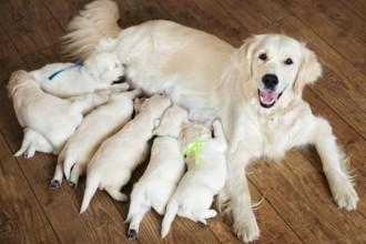 La gestation chez la chienne