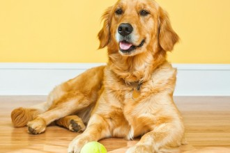 5 Reasons to adopt a Golden Retriever