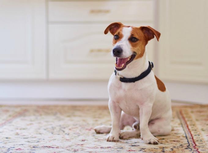 Préférence Top 15 des races de chien de petite taille - Yummypets WD26