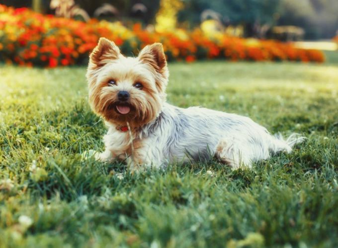 top 15 des races de chien de petite taille yummypets. Black Bedroom Furniture Sets. Home Design Ideas