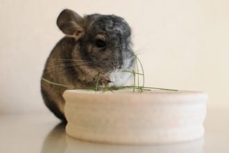 Are you ready to adopt a chinchilla?
