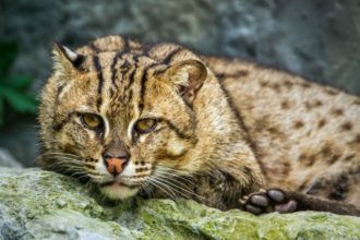 Know your breeds: the Fishing Cat