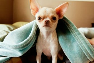 Top 10 reasons to adopt a Chihuahua