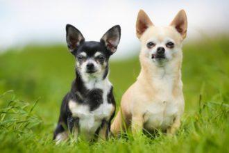 Les 10 bonnes raisons d'adopter un Chihuahua
