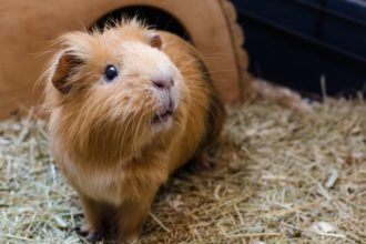 Where should I place my Guinea Pig's…