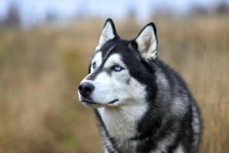 Zoom sur une race : le Husky Sibérien