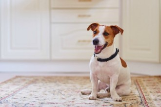 How to train your Jack Russell Terrier