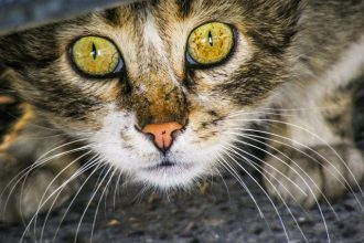 Common eye diseases in cats