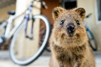 Meet the quokka, the happiest animal in the world!
