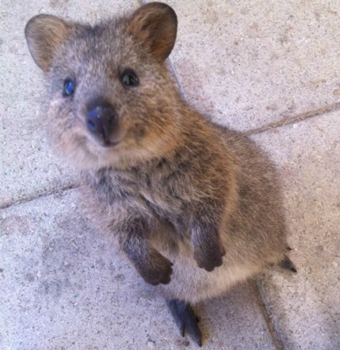 meet the quokka the happiest animal in the world yummypets