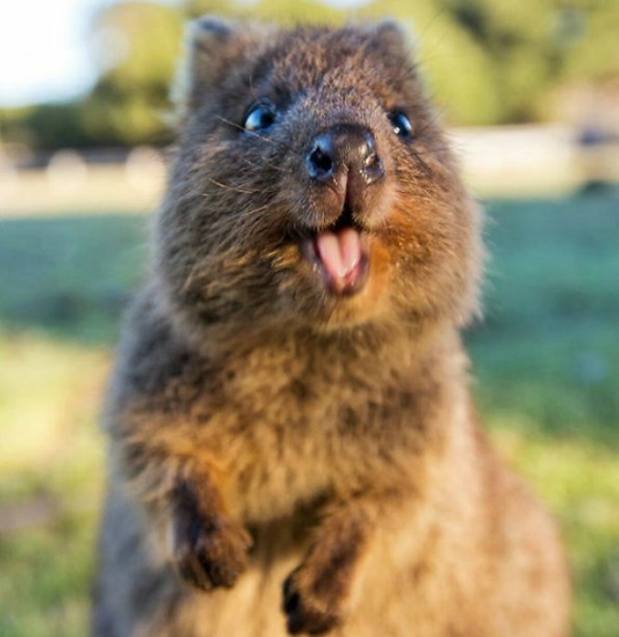 Meet the quokka, the happiest animal in the world! - Yummypets  Meet the quokka...