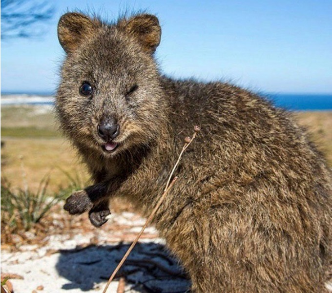 Meet the quokka, the happiest animal in the world! - Yummypets