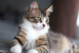 Quelles sont les maladies virales du chat?