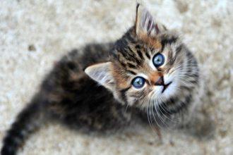 Pourquoi les chatons ont les yeux bleus…