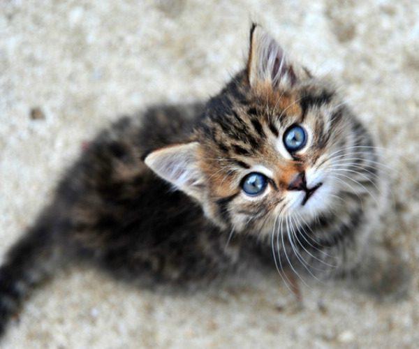 Pourquoi les chatons ont les yeux bleus ?