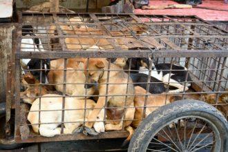 La vente de viande de chien bientôt interdite au festival…