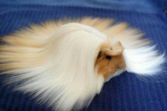Ces Cochons d'Inde aux poils plus soyeux que vos cheveux !