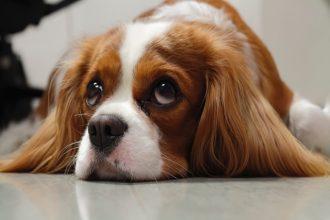 Endocardiose mitrale chez le chien : la pathologie…