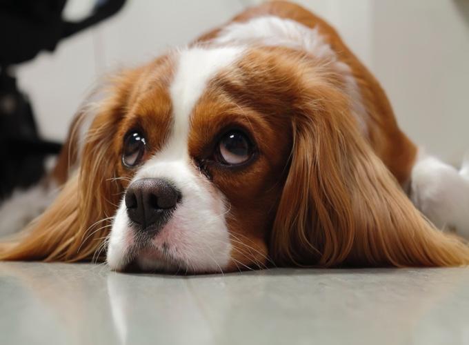 Endocardiose mitrale chez le chien : la pathologie